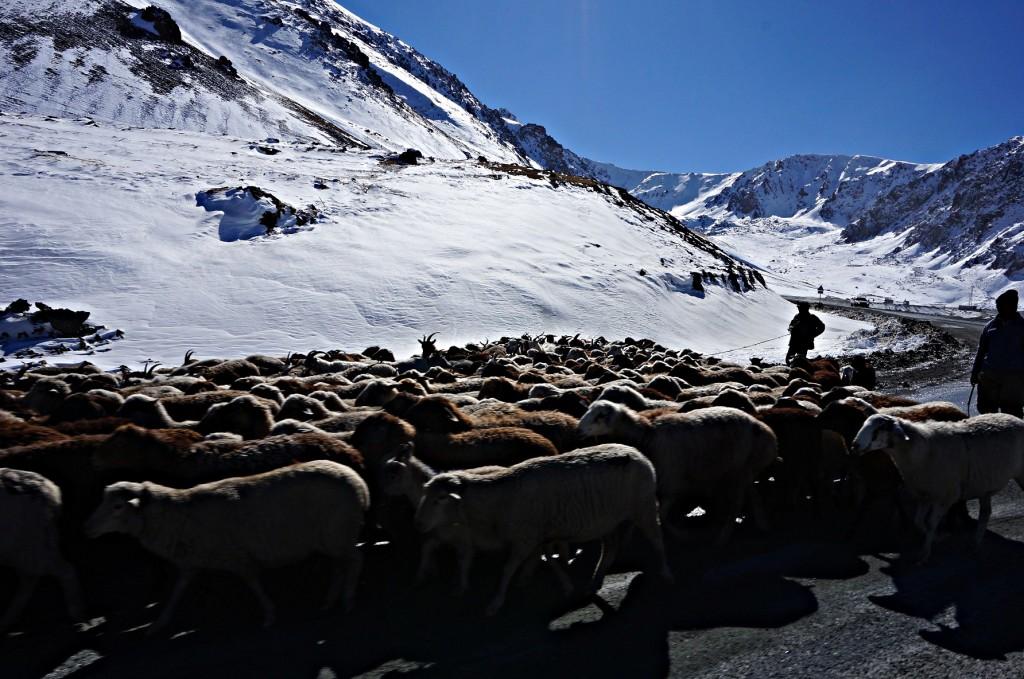 Pasterze blokujący droge