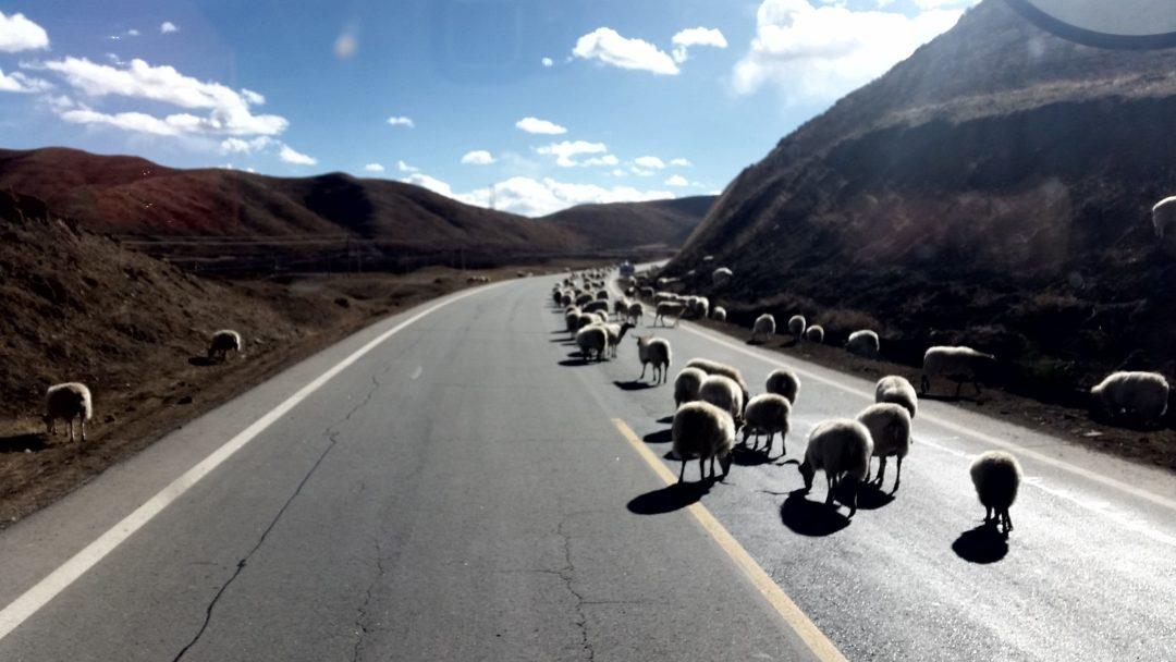 Owieczki na Tybetańskiej drodze