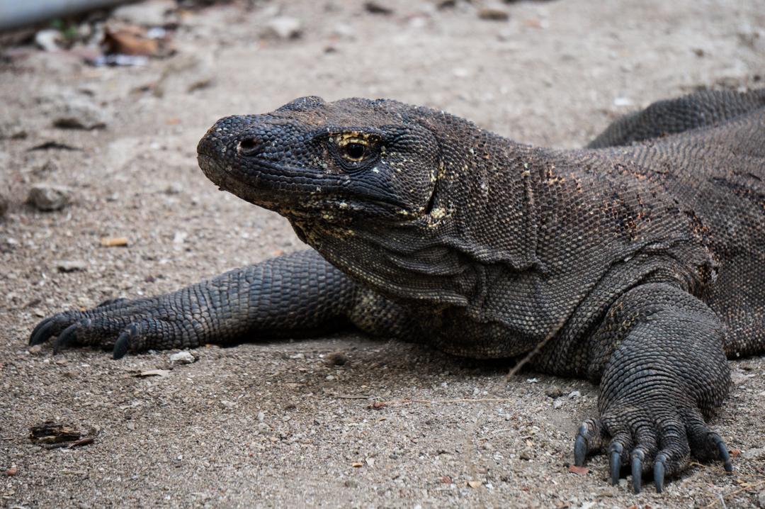Flores co zobaczyć - Indonezja - Park Komodo