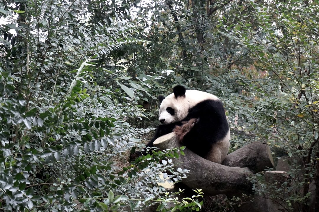 Chengdu Panda- Na Nowej Drodze Życia