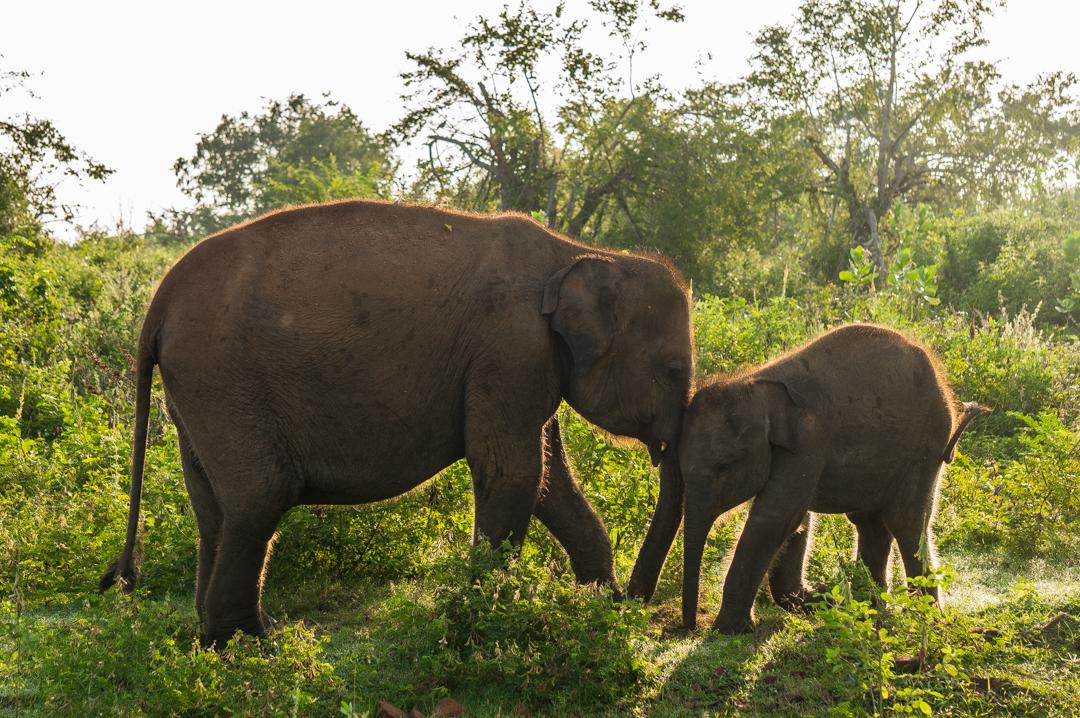 Sri Lanka co zobaczyć -Udawalawe