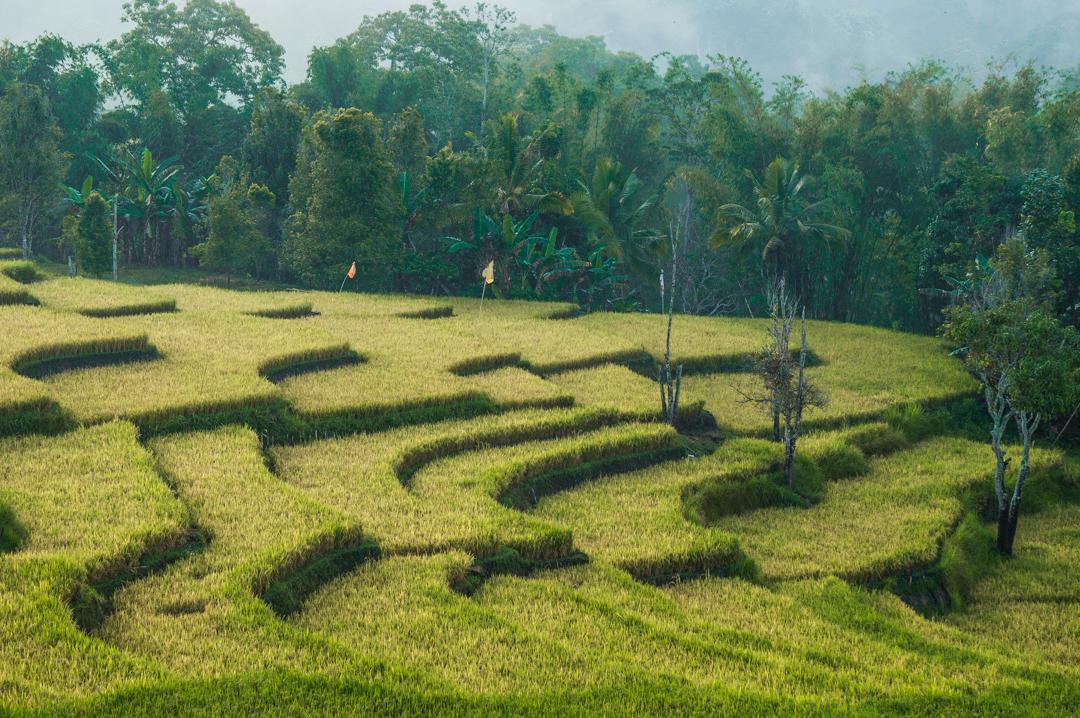 Flores co zobaczyć - tarasy ryżowe w Indonezji