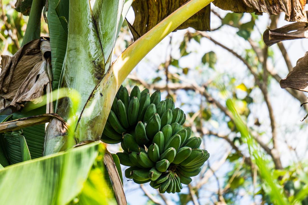 Banany na wyspie Flores w Indonezji